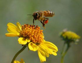 मधुमक्खी काट ले तो अपनाएं ये घरेलू उपाय