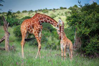 fraud on name of giraffe conservation